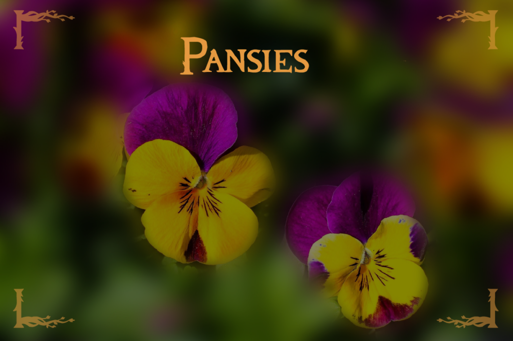 Fall Flowers Pansies